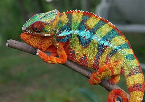 panther chameleon facts habitat diet life cycle baby pictures