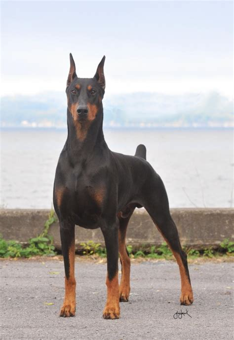 doberman puppies doberman pinscher all big breeds
