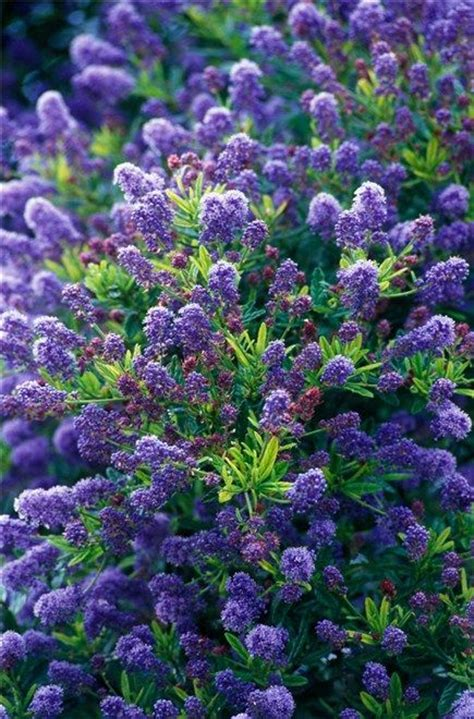 evergreen shrubs with blue flowers ceanothus concha californian lilac is an evergreen