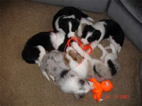 border collie puppies for sale in tn border collie puppies for sale