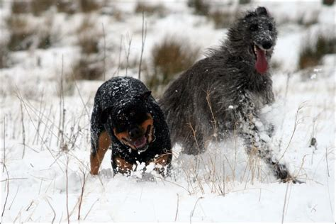 rottweiler puppies scotland news in pictures snow
