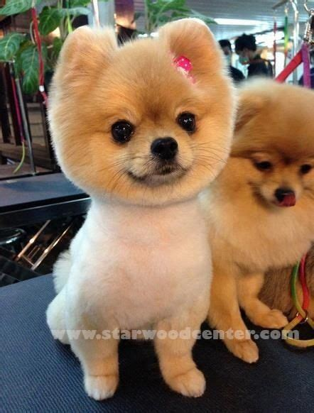 white pomeranian boo cut omg i 2 pomeranians that look like this when their i animals