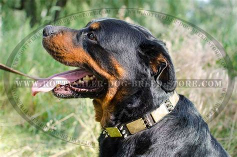 collars for rottweilers rottweiler collar images