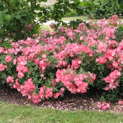 Teppich Koralle by Flower Carpet Roses Flower Carpet Coral Anthony