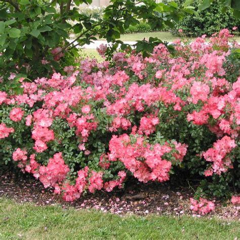 shrubs flowers flower carpet coral 6 quot pot hello hello plants garden