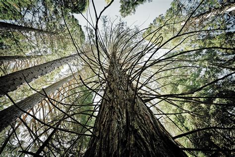 tree in identifying killer trees in sequoia national park some