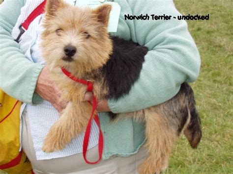 Norwich Terrier Shedding by Norwich Terrier Breed Information Puppies Pictures