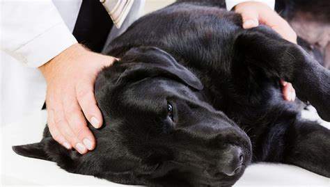 seizures in dogs epileptic seizures in dogs symptoms treatments and studies