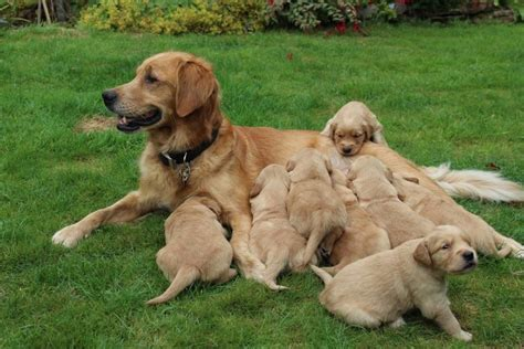 adopt a golden retriever uk golden retriever dogs puppies for sale design bild