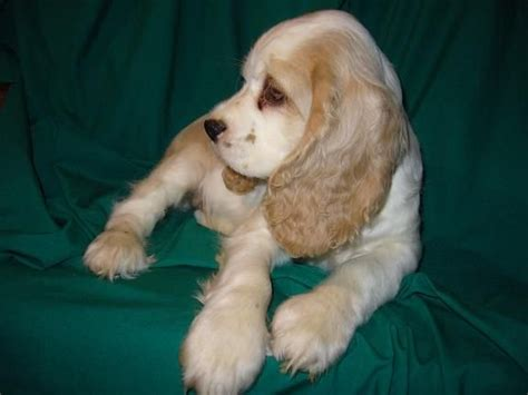 cocker spaniel puppies for adoption american cocker spaniel puppies for sale adoption from apsley ontario peterborough