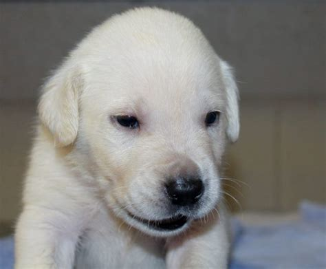 yellow lab puppies for sale in ga the
