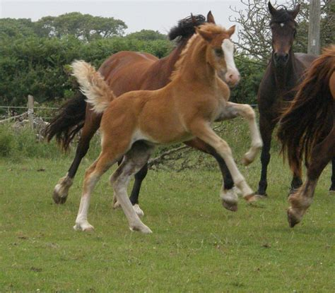 section d welsh cob filly foal welsh cob sec d holyhead isle of anglesey