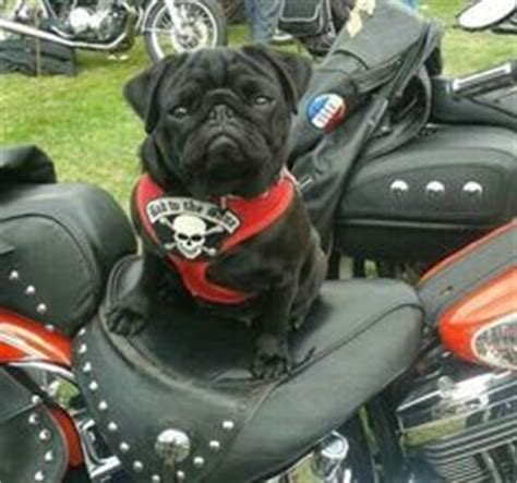 pug motorcycle 1000 images about two wheels four paws on vespas vespa scooters and