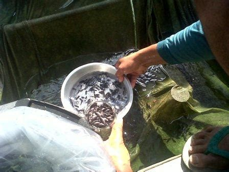 Bibit Ikan Gurame Cirebon bibit ikan gurame murah budidaya ikan air tawar