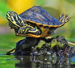 colorful turtles turtlesrainbow