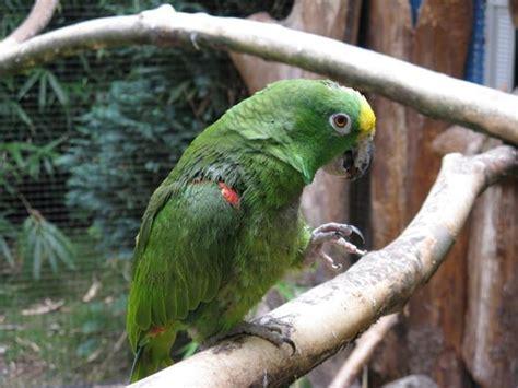 amazzone testa gialla pappagallo amazzone pappagalli caratteristiche