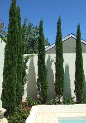 cupressus glauca pencil pine   plants