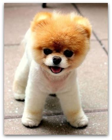 teddy pomeranian breeder teddy breed information which is right for you