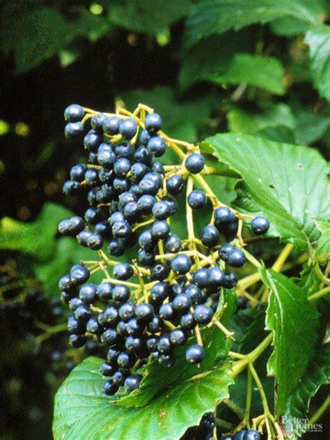 berry plants   garden  attract birds