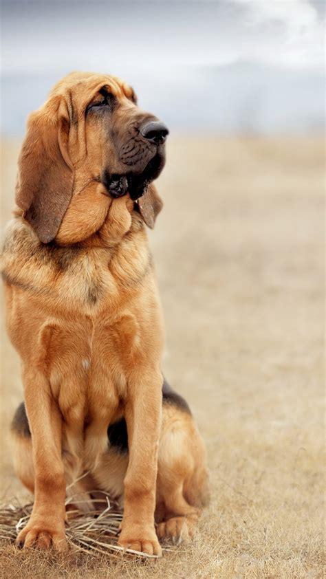 wallpaper dog bloodhound  animals