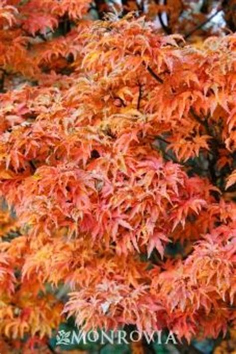 growth pattern of japanese maple 59 best images about dwarf japanese maple on pinterest