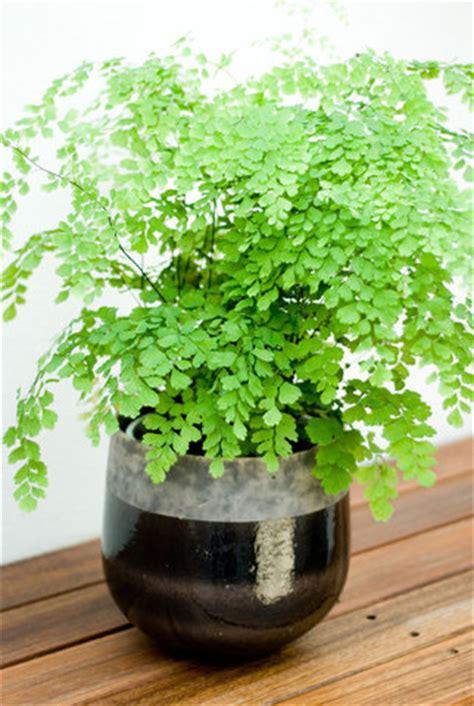 adiantum fern  chelsea gardener