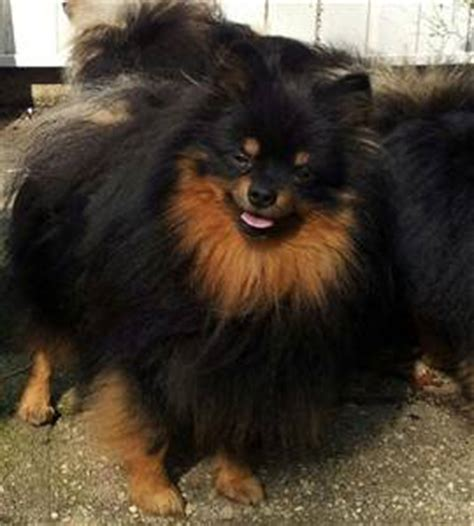 pomeranian color change all about pomeranians a and beautiful color