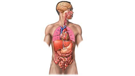 imagenes reales de organos del cuerpo humano 211 rganos del cuerpo humano descripci 243 n y funcionamiento