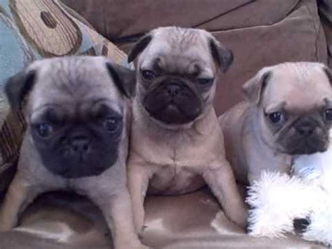 pug puppies in ohio pug puppies for sale veto heights ohio akc pugs wmv