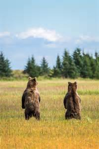 Two juvenile male coastal brown bears curiously look into the distance