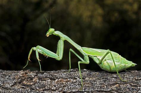 Praying Mantis L by Thida S Mic S Praying Mantis