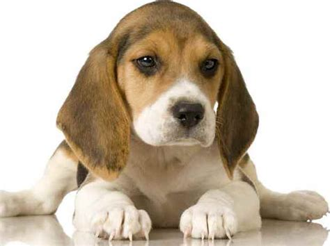 beagle puppies for free free beagle puppies for sale breeds picture