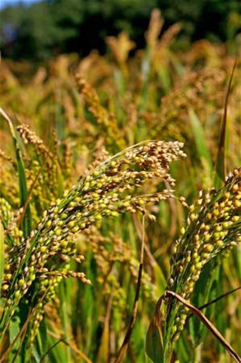 millet a carbohydrates millet plant britannica