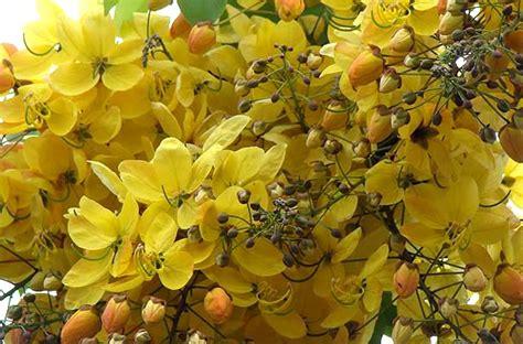 Goldon Shower ゴールデンシャワーツリー cassia fistula
