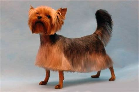 yorkie hair or fur top 35 yorkie haircuts pictures terrier haircuts