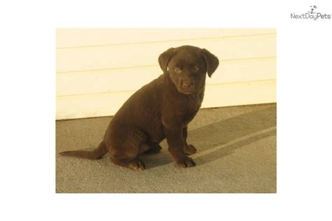 chocolate lab puppies for sale in iowa labrador retriever puppy for sale near sioux city iowa d8a3ffac 6a01