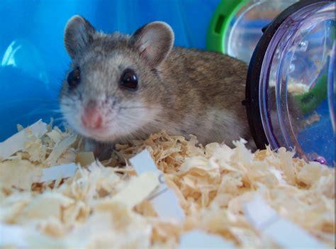 chinese dwarf hamsters  sale  malden surrey