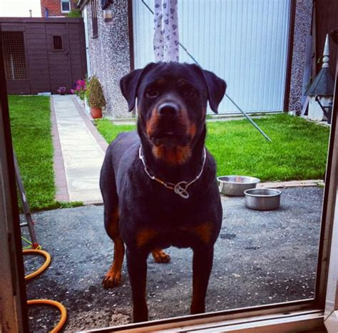 free rottweilers to home rottweiler free to home only leeds west pets4homes