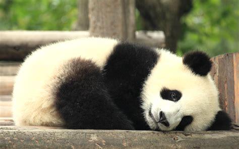 Black Panda by Black And White Panda Colors Photo 34711843 Fanpop