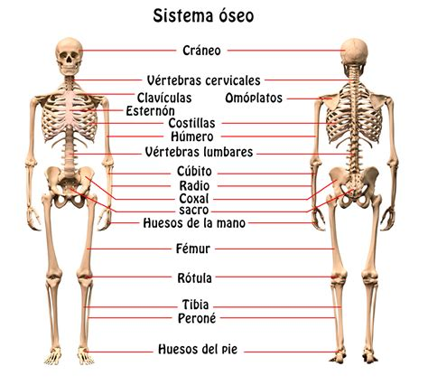 Resumen Y Sus Caracteristicas by Resumen Sistema 211 Seo 243 Rganos Caracter 237 Sticas