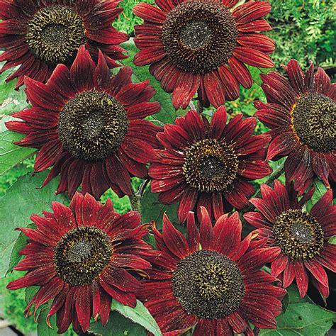 Jual Biji Bunga Matahari Merah jual benih biji bibit bunga matahari sunflower velvet rena store