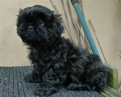 solid black shih tzu puppies for sale quality shih tzu puppy solid black ready now york pets4homes