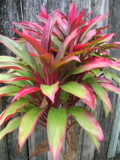 foliage plant care hawaiian t筰 plant cordyline fruticosa description and care