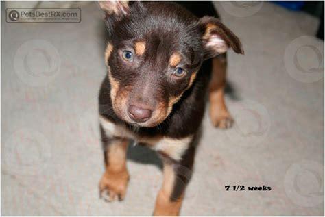 puppy mange treatment q based healthcare mange images