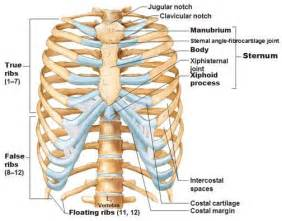 sternum diagram 1 what is sternum its function and location explain in
