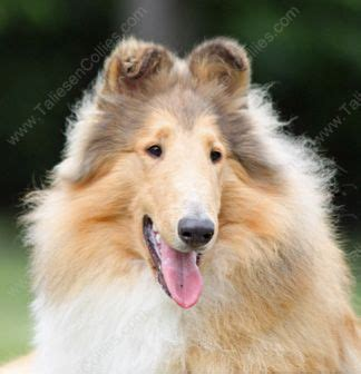 collie puppies for sale in michigan we are a collie breeder of quality collies collie puppies in all