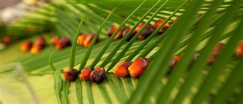 Minyak Kelapa Per Liter Tahun minyak kelapa sawit indonesia produksi ekspor cpo