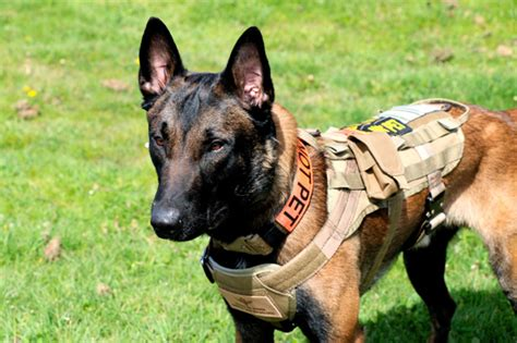 how to k9 dogs k9 protection dogs from custom protection dogs