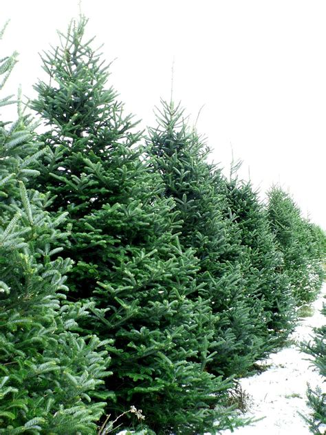 eckert s country store farms o christmas tree o