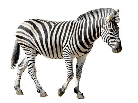 imagenes de jirafas para tatuar cebras 191 blancas con rayas negras o negras con rayas